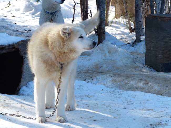 Alaskan husky at the homestead