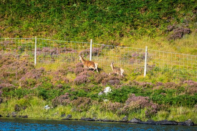 Deer stuck behind a fence