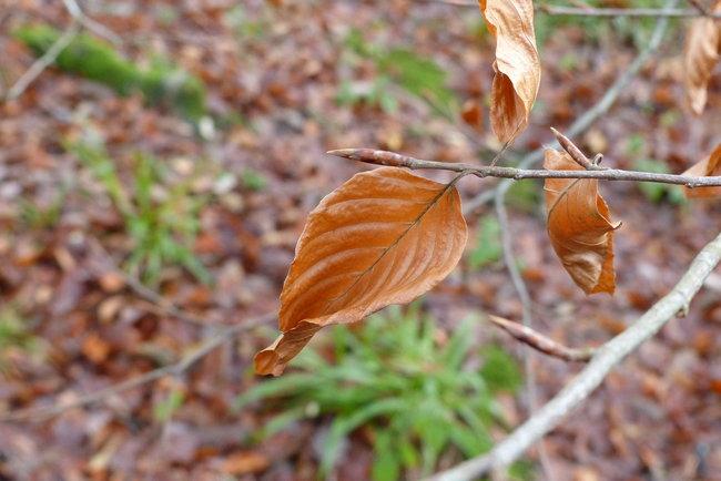 Beech tree